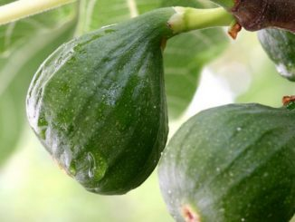 fig-fruit-of-herzegovina-min