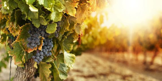 wine-grapes-herzgeovina-tradition
